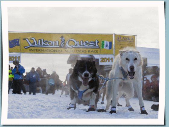 Start of the 2014 1000 Mile Yukon Quest International Sled Dog Race