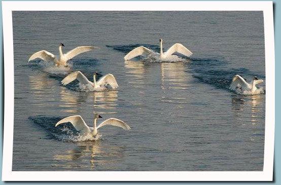 Celebration of Swans